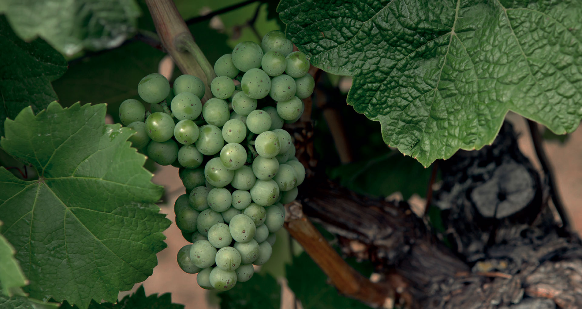 Weinrebe Riesling